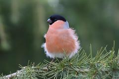 Bullfinch (Edwyn Anderton) Tags: bullfinch malebullfinch peakdistrict padleygorge padley longshaw longshawestate
