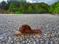 snail on the road (panoskaralis) Tags: snail nature macro road roadtrip trees pine outdoor landscape green colors lesvos lesvosisland mytilene greece greek hellas hellenic