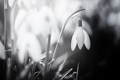 Frühlingsbote (inmyeyespictures) Tags: frühling spring schneeglöckchen snowdrop schwarz weis wiese field licht light fujifilm xt2 fujinon xf 60 24 black white nature landschaft landscape natur pflanze plant