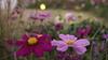 Purple and pink flower (ddli008) Tags: flower bokeh 花 散景 花圃 garden spring 花園 floral 꽃 blume closeup