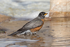 March 25, 2018 - A Robin goes for a bath. (Tony's Takes)