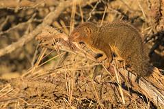 Mangosta Enana Común (ik_kil) Tags: mangostaenanacomún commondwarfmongoose mongoose helogaleparvula kruger krugernationalpark southafrica