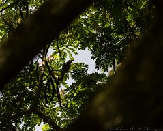 20180324-0I7A8353 (siddharthx) Tags: canonef100400f4556isiimanjeeradammanjeerasanctuarybirdtelanganagoldenhourdawnsunrise canon ef100400f4556isii manjeeradam manjeerasanctuary bird telangana goldenhour dawn sunrise india in indiangoldenoriole goldenoriole intheshadows amongsttheleaves firstlight firstrays canon7dmkii ef100400mmf4556lisiiusm birdsofindia nature birdonabranch birdsinthewild gorgeousnature gorgeouscolors tree animal b oriole canonef100400f4556isiimanjeeradammanjeerasanctuaryb