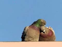 Oh, my love... (libra1054) Tags: cuddling coccola caricia caresse carícia pigeons doves piccioni pombos palomas love amore amor amour birds uccelli oiseaux aves vögel outdoor