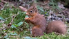 Red Squirrel (ABel-Photo) Tags: scotland wildlife aberfoyle hide trossachs lltnp queen elizabeth forest