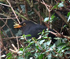 Blackbird waiting patiently for food. (Blossom's Mom.(Sheila Hess)) Tags: bird blackbird male hedge garden april 2018