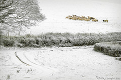 Sheep on the Hill (dareangel_2000) Tags: dariacasement northernireland landscape codown snowday sheep sheeponthehill simple simplicity farm farmanimals snow weather winter