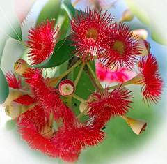 Eucalyptus blossoms (Uhlenhorst) Tags: 2018 australia australien plants pflanzen blossoms blüten travel reisen