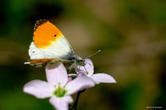 Aurore (jpto_55) Tags: papillon aurore macro bokeh xe1 fuji fujifilm fujixf55200mmf3548rlmois tarnetgaronne france