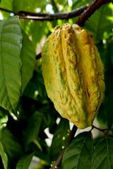 cacao  fruit (DOLCEVITALUX) Tags: cacao cacaofruit lumixlx100 panasoniclumixlx100 philippines fruit fruits plant chocolateflowers flora fauna