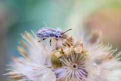 insecto de jardín-87 (Sergio_Pérez) Tags: eosrebelt6 macrofotografía yn50mm yongnuo yongnuo50mm18 1300d
