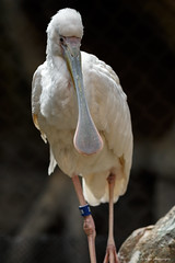 African Spoonbill (dpsager) Tags: africanspoonbill bird chicago dpsagerphotography illinois lincolnparkzoo spoonbill zoo