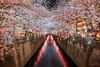 Cherry blossoms at Meguro River (GLIDEi7) Tags: α7riii a7riii a7r3 7rm3 α sony 1224mmf4556iidghsm 1224mm sigma japan tokyo meguro nakameguro megurogawa meguroriver sakura cherryblossoms 日本 東京 目黒 中目黒 目黒川 桜