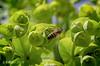 Our Fuzzy Friend: The European honey bee (Apis mellifera) (Greatest Paka Photography) Tags: nature honeybee bee apismellifera flora nectar hairy fuzzy green bug macro