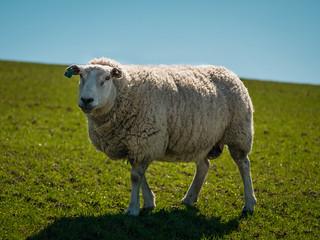 Schafe auf einem Deich