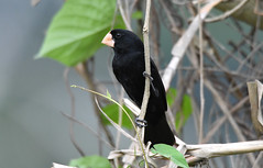 Nicaraguan Seed-Finch (Digital Plume Hunter) Tags: