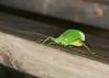Broad-winged Snub-nose Katydid (bug-in-my-eye) Tags: insects orthoptera tettigoniidae