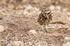 Burrowing Owl in Prairie Dog Town - Lubbock (LilTexican) Tags: lifelist