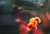 Огненный Цветок (evgenynovikovart) Tags: цезальпиния прекраснейшая caesalpinia pulcherrima zenit zenitar 85 402 15 canon helios зенит зенитар гелиос defocused macro red flower orange bright 70d bird paradise peacock огненный цветок красный оранжевый пестики тычинки swirl bokeh bokehlicious спиральное боке круговое stamens pistils lens flare light beam fire flowering plant blossom blooming bloom colorful