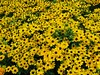Riot of yellow (caro-jon-son) Tags: holsept
