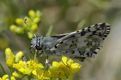 Pyrgus communis 2017-2 (lindnys) Tags: commoncheckeredskipper taoscanyon pyrguscommunis butterfly sommerfugl communis carson newmexico usa us