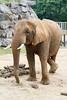 Hurry up, I'm bursting (mattbeee) Tags: ears elephant legscrossed mammal toilet zoo boroughofcolchester england unitedkingdom gb
