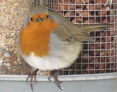 Round Robin! ('cosmicgirl1960' NEW CANON CAMERA) Tags: birds feathers garden uk feeder snow winter nature devon dartmoor yabbadabbadoo