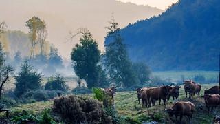 Vacas / Cows
