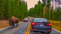 My Road! (The Happy Traveller) Tags: yellowstonenationalpark wyoming unitedstates us bisons wildlife