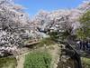 18o5930 (kimagurenote) Tags: 桜 sakura ソメイヨシノ prunus cerasus cherry blossom flower 二ヶ領用水 nikaryoyosui 川崎市多摩区 宿河原 shukugawara tamakawasaki