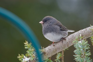 Little sweet Junco!