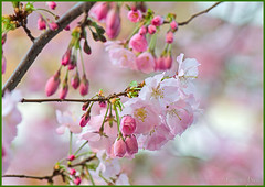 °*° (adrianaaprati) Tags: flickr albero ciliegio fiori rami flowers cherry cherryblossoms blooming blossom april branch tree pink blur nature beauty fragility delicacy aiku poetry poetically macro bokeh