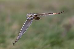Short Eared Owl (Glenn.B) Tags: bird owl grassland shortearedowl aust gloucestershire birdofprey