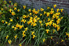 Daffodils (Julysha) Tags: daffodils yellow flowers spring april thenetherlands monnickendam blossoming 2018 d810 sigma241054art acr