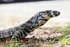 Goanna 2 (durbincam) Tags: bobbinhead kuringgai goanna reptiles australia