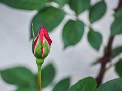 victoria rose (pbo31) Tags: boury pbo31 2018 d810 color april nikon california bayarea spring livermore pleasanton eastbay alamedacounty flower garden macro bloom flora season green rose red