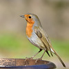 DSC_6472 (sylvettet) Tags: bird 2018 animal nature robin rougegorge coth5