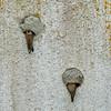 Sand martin, bank swallow, oeverzwaluw (BadgerPhoto45) Tags: sigma quattro sdquattro foveon x3f 50500mm oeverzwaluw sandmartin bankswallow twisk vogel vogels zwaluw bird birds nesting