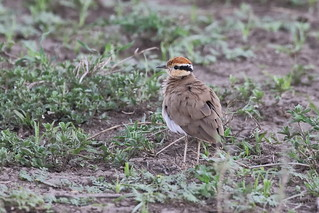 Temmincks renvogel - Temminck's Courser - Cursorius temminckii