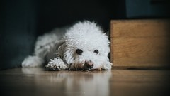 Fluffy (hispan.hun) Tags: dog animal fluffy white sleepy morning manualfocus manual hispansphotoblog projectorlens sonyphotography sony sony5100 sonya5100 vintage ussr hispanhu hispans photoblog home