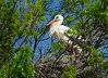Cigogne blanche sur le nid - Lattes (Marc ALMECIJA) Tags: oiseau bird aves vogel cigogne blanche arbre tree nid lattes wildlife nature natur