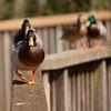 Dulwich Ducks... (Adam Swaine) Tags: ducks mallard rspb dulwich birds england english londonparks naturelovers nature canon beautiful animals britishbirds englishbirds spring parks