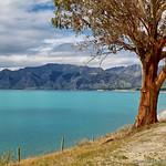 Lake Hawea, with gum tree. New Zealand thumbnail