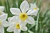 Les tâches de rousseurs (klafdi) Tags: freckles les tâches de rousseurs flower spring printemps fleur