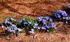 Parterre printanier (Diegojack) Tags: morges vaud suisse d7200 prterre parc indépendance crocus printemps fleurs