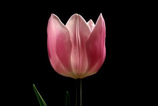 IMGP0079 Tulip