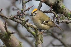 Goldcrest (Andrew_Leggett) Tags: goldcrest regulusregulus spring male bird perched wood woodland crest display