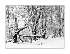 The Old Cherry Tree in Winter (GAPHIKER) Tags: cherry front yard old field line storm noreaster rock wall