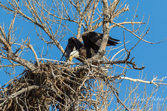 Female Bald Eagle returns to the nest - 26 of 29