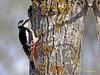 Pico picapinos (Dendrocopos major)  (11) (eb3alfmiguel) Tags: aves pájaros carpintero piciformes picidae pico picapinos dendrocopos major pájaro árbol hierba animal bosque madera